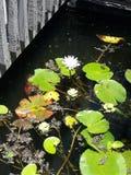 Bez waterlily w stawie fotografia stock