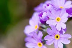 bez zakwitnie kwiat fotografia stock