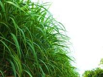 Bez zielonej trzciny, biznesy wytwarzają dochód tak jak rolnicy zdjęcie royalty free