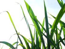Bez zielonej trzciny, biznesy wytwarzaj? doch?d tak jak rolnicy obrazy stock