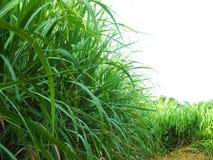 Bez zielonej trzciny, biznesy wytwarzaj? doch?d tak jak rolnicy zdjęcia stock