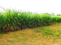 Bez zielonej trzciny, biznesy wytwarzaj? doch?d tak jak rolnicy obrazy royalty free