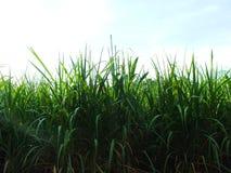 Bez zielonej trzciny, biznesy wytwarzaj? doch?d tak jak rolnicy obraz stock