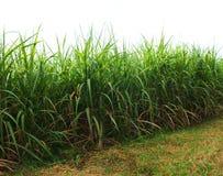 Bez zielonej trzciny, biznesy wytwarzaj? doch?d tak jak rolnicy zdjęcia royalty free