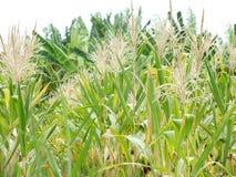 Bez zielonej trzciny, biznesy wytwarzaj? doch?d tak jak rolnicy zdjęcie royalty free