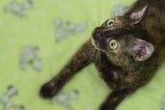 Bezaubernde gelockte Katze Ural Rex liegt auf dem Bett und schaut oben mit gro?en gr?nen Augen Farbschwarze Schildkr?te stockbild