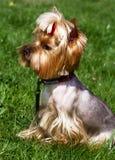 Bezaubernder Yorkshire-Terrier im Gras Stockfoto