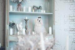 Bezauberndes weißes maltesisches in einem stilvollen Innenraum stockfotos