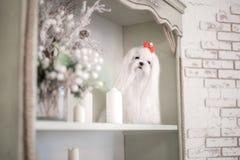 Bezauberndes weißes maltesisches in einem stilvollen Innenraum lizenzfreies stockbild