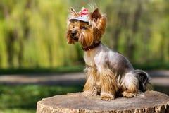 Bezauberndes Yorkshire Terrier auf einem Stumpf Lizenzfreie Stockbilder