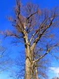 Bezbarwny drzewo na Błękitnym niebie Zdjęcia Royalty Free