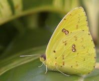 bezchmurny motyla gigantyczny siarki Zdjęcia Stock