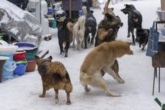 Bezdomna pies walka na ulicie w zimie obrazy stock