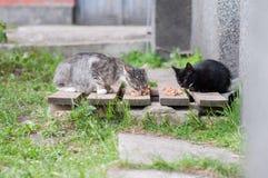 Bezdomni koty jedzą kota jedzenie Obrazy Royalty Free