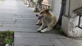 Bezdomny białogłowy pies kłama na ulicie Gruziński miasto wtyka out Sighnaghi i oddycha z jego jęzorem zbiory