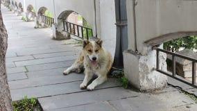 Bezdomny białogłowy pies kłama na ulicie Gruziński miasto wtyka out Sighnaghi i oddycha z jego jęzorem zbiory wideo
