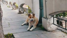 Bezdomny białogłowy pies kłama na ulicie Gruziński miasto wtyka out Sighnaghi i oddycha z jego jęzorem zdjęcie wideo