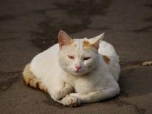 bezdomny białego kota Zdjęcia Royalty Free