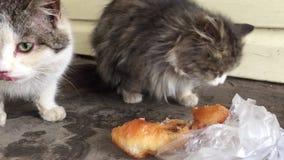 Bezdomny brudni koty jedzą outside w zimy zimnie mężczyzna karm przybłąkani zwierzęta koty bezdomny outdoors kot zbiory wideo