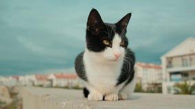 Bezdomny czarny i biały kot kłama w kamerę i spojrzenia zbiory wideo