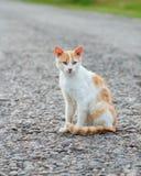 Bezdomny czerwony kota obsiadanie na ciepłej asfaltowej drodze Przybłąkani kota attentively spojrzenia naprzód zdjęcie royalty free