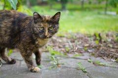 Bezdomny dziki bestia kot z sceptycznym spojrzeniem przygotowywa bieg zdjęcie stock
