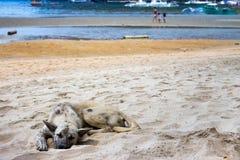 Bezdomny Jest prze?ladowanym na pla?y Sypialny pies na dennym wybrzeżu, Azja Uroczy zmęczony zwierzę domowe na gorącym letnim dni zdjęcia stock