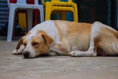 Bezdomny jest prze?ladowanym na ulicie Sypialny pies na grodzkich ulicach Smutny zm?czony zwierz? domowe na letnim dniu fotografia royalty free