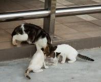 Bezdomny kot i mali kiciuni łasowania ryż na naczyniu Zdjęcie Royalty Free