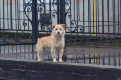 Bezdomny owłosiony czerwień pies jest przyglądający pewnie obraz royalty free