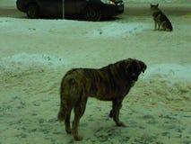 bezdomny pies pets Psy chodzą na ulicie Pies gubił swój właściciela zdjęcie stock