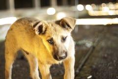 bezdomny pies pets Psy chodzą na ulicie Pies gubił swój właściciela obraz stock