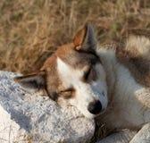 Bezdomny pies śpi na kamieniu dla poduszki Zdjęcia Stock