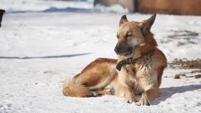 Bezdomny pies siedzi na śniegu w zimy zezowania oczach od silnego wiatru psi problem bezdomni zwierzęta domowe zbiory
