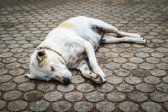 Bezdomny psi dosypianie na przejściu Fotografia Stock