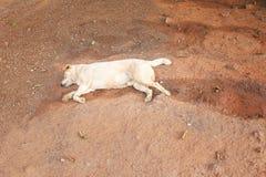 Bezdomny psi dosypianie na zmielonym tle z wysuszonymi liśćmi obrazy stock