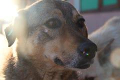 Bezdomny sterylizujący psi Crimea obraz royalty free