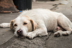 Bezdomny tajlandzki psi dosypianie Fotografia Stock