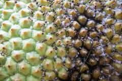 Beziehungen mit Ameise und Blattlaus, clouse oben auf Jackfruithaut textur Stockfoto