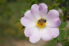Bezige Bij die aan een bloem het oogsten stuifmeel werken stock foto