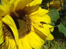 Bezige bijen stock foto