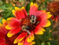 Bezige Bijen die Stuifmeel verzamelen Royalty-vrije Stock Afbeeldingen