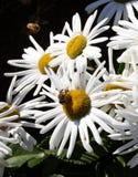 Bezige bijen op daisys Stock Afbeelding