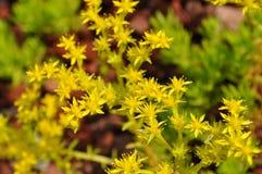 Bezimienni kwiaty Zdjęcia Royalty Free