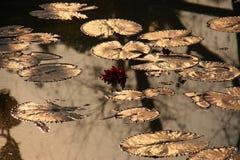 Bezinning met lotusbloem en blad Royalty-vrije Stock Afbeelding