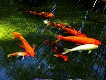 Bezinning over het meer met karper royalty-vrije stock fotografie
