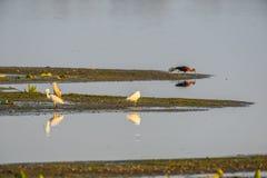 Bezinning van de watervogels van Donau op een stuk van kust Royalty-vrije Stock Afbeeldingen