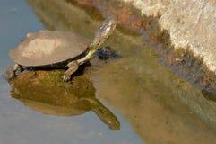 Bezinning van een watermoerasschildpad Royalty-vrije Stock Foto's