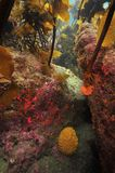 Bezkręgowowie pod kelp lasowym baldachimem zdjęcia royalty free