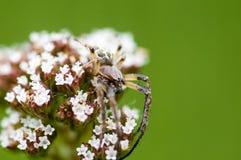 Bezkręgowy portreta pająk camouflaged obraz royalty free